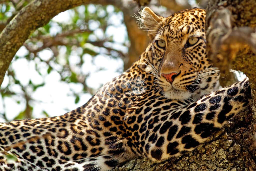 Tiger in the park of Kenya