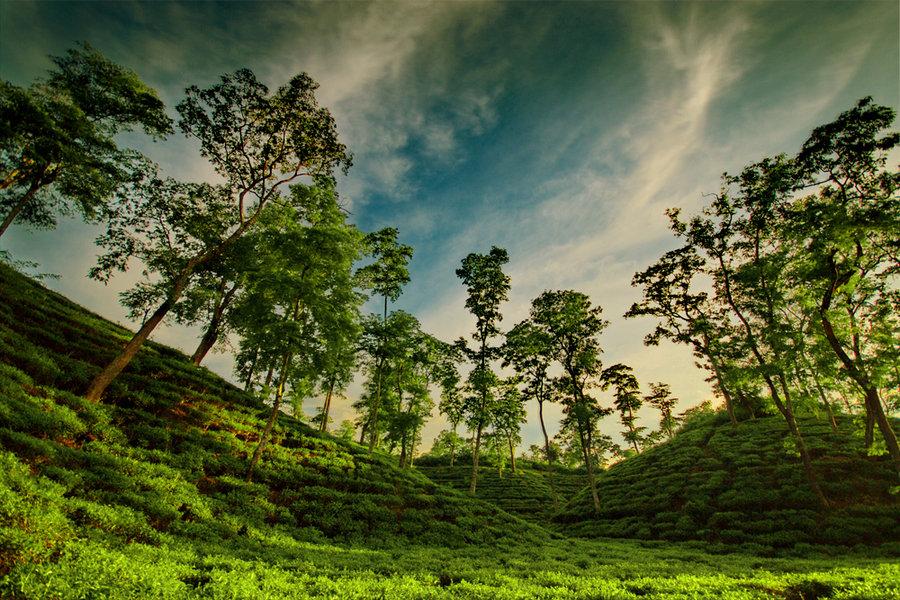 Tea Plantation Chittagong Hill Tracts Bangladesh