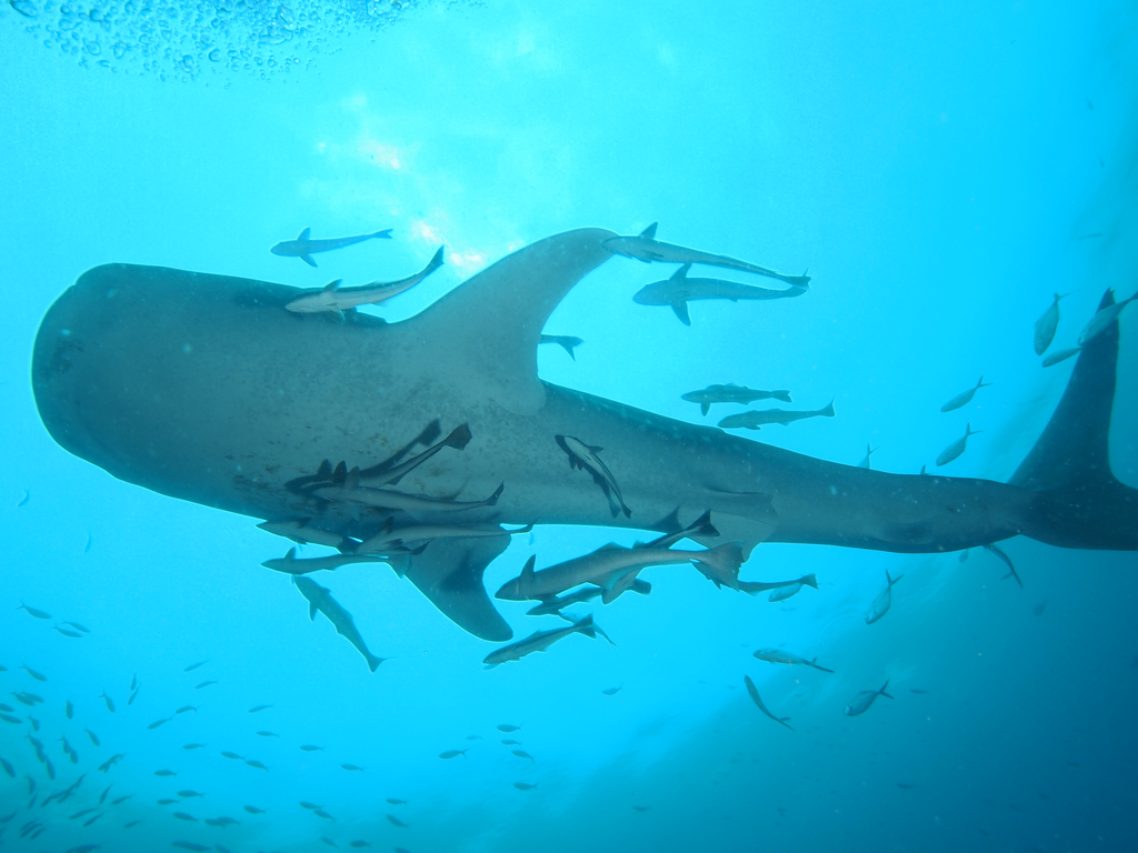 Whale Shark at Chumphon Pinnacle Thailand