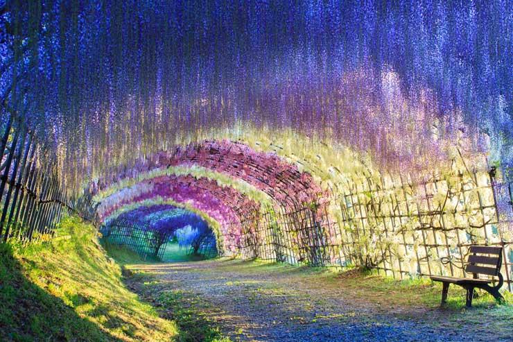 Wisteria Tunnel Kawachi Fuji Gardens Japan