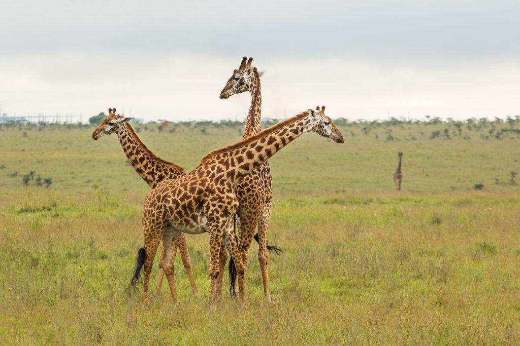 Two giraffe in the park