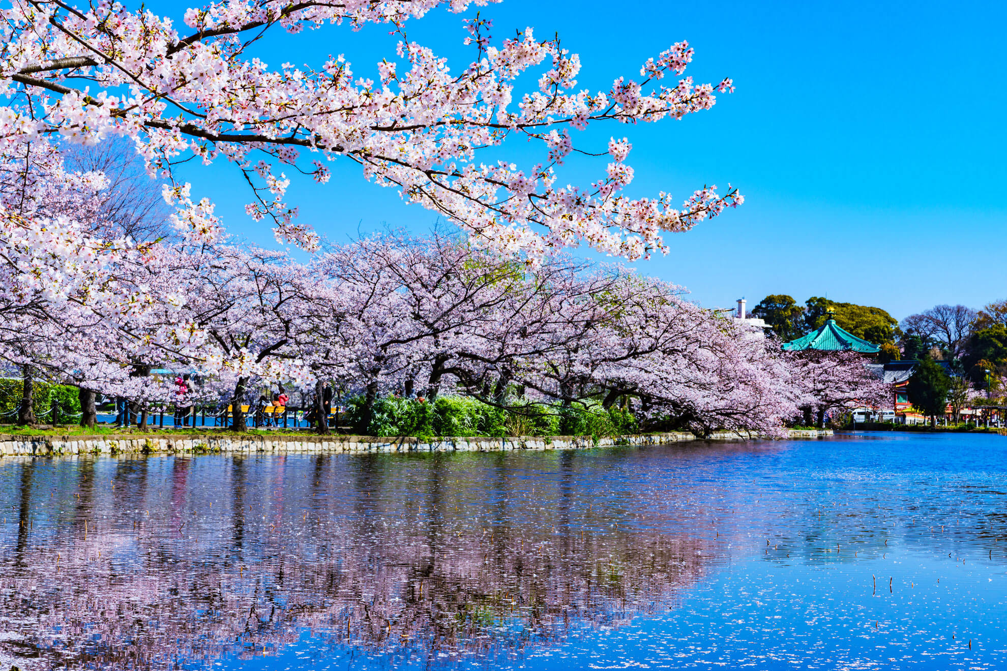 Spring Fest: The Cherry Blossoms of Tokyo